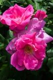 Knoppen en bladeren van een roze tuin stock afbeeldingen