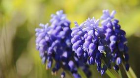 Knoppen en Bloei Blauwe Klokbloemen met Vage Achtergrond stock fotografie