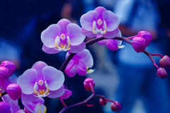 Knoppen en bloemen op een tak Stock Afbeelding