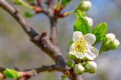 Knoppen en bloemen op een tak van een kersenpruim, close-up Royalty-vrije Stock Afbeelding