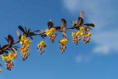 Knoppen en bloemen op tak op blauwe hemel, close-up Royalty-vrije Stock Foto