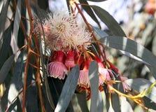 Knoppen en bloemen van Eucalyptustorquata Royalty-vrije Stock Foto's