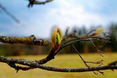 Knoppen op boom in de lente Stock Foto's