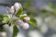 Knoppen van appelbloemen stock foto's