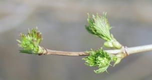 Knoppen van appelbomen in de lente stock videobeelden