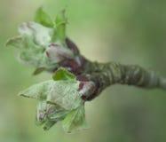 Knoppen van appelboom Stock Fotografie