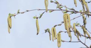 Knoppen van berk in de lente stock footage