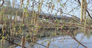 Knoppen van berk in de lente stock video