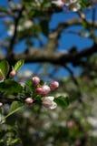 Knoppen van een bloesem van de appelboom Stock Foto's