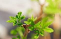Knoppen van onontloken frambozenstruik in de vroege lente stock foto's