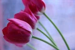 Knoppen van rode tulpen Royalty-vrije Stock Afbeeldingen