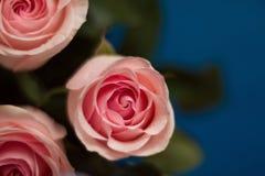 Knoppen van roze rozen met dalingen van dauw in het onduidelijke beeld op de blauwe oppervlakte royalty-vrije stock fotografie