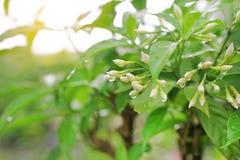 Knoppning av gardeniablommor med regndroppe under solljus royaltyfri fotografi