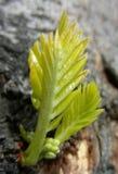 knopptree Royaltyfri Bild