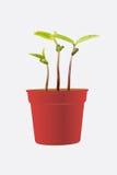 knoppväxter Arkivbilder