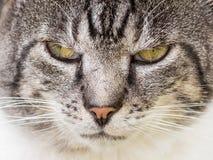 Knorrige Cat Portrait Stock Afbeelding