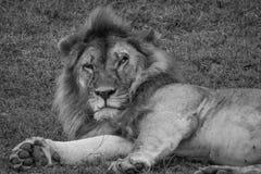 Knorrige Mannelijke Leeuw in Serengeti Stock Foto