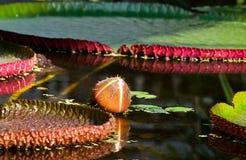 Knospe auf dem water- Victoria amazonica Lizenzfreies Stockbild