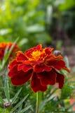 Knospe der Ringelblume mit dem Blütenstaub Stockfotografie