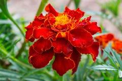 Knospe der Ringelblume mit dem Blütenstaub Lizenzfreie Stockbilder