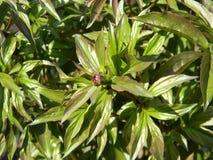 Knospe der schönen Pfingstrosenblume im Garten, Nahaufnahme Stockfotos