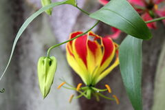 Knospe der tropischen Blume Gloriosa Superba, botanischer Garten Stockfotos