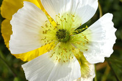 Knospe der weißen Mohnblume Stockbilder