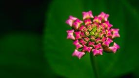 Knospe der wilden Blume Stockfoto