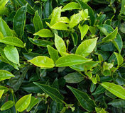 Knospe des grünen Tees und frische Blätter Stockbilder