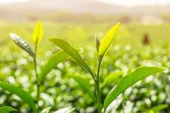 Knospe des grünen Tees und frische Blätter mit Sonnenlichthintergrund Stockfotos