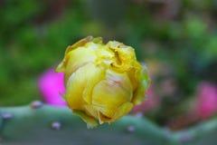 Knospe des Kaktus Stockfoto