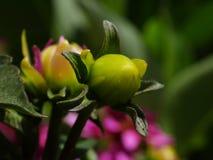 Knospe einer Blume stockfotos
