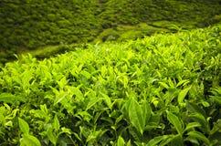 Knospe und Blätter des grünen Tees. Stockbild