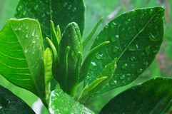 Knospe von Gardenia stockfotos