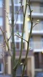Knospen auf den Bäumen Stockbilder