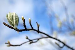 Knospen auf Zweig. Stockfoto