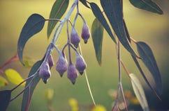 Knospen der australischen Prinzessin Eucalyptus des gediegenen Silbers stockfotos
