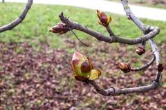 Knospen der Kastanie im Frühjahr Stockfoto