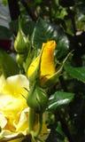 Knospen der Rosen Lizenzfreie Stockfotos