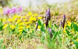Knospen der Wiese der Zwergirises im Frühjahr Lizenzfreies Stockfoto
