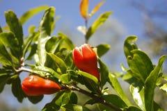 Knospen des Granatapfels stockbilder