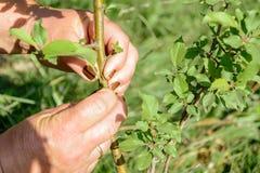 Knospen und Blätter auf erfolgreich verpflanztem Apfelbaumabschluß oben lizenzfreie stockfotografie