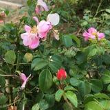Knospen und Blüte stockfoto