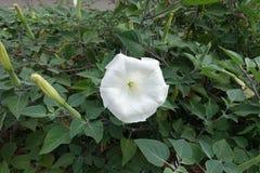 Knospen und Blume von Stechapfel innoxia stockbild