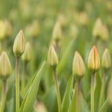 Knospen von Tulpen Lizenzfreie Stockfotografie
