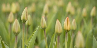 Knospen von Tulpen Stockfotografie