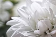 Knospen-weiße Chrysanthemenblumennahaufnahme lizenzfreie stockfotografie