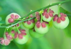 Knospenblume stockbilder