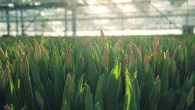Knospende rosa Tulpen im sonnenbeschienen Grün stock video footage