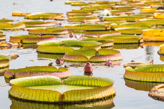 Knospende rosa Victoria Waterlily im Pool Stockbild